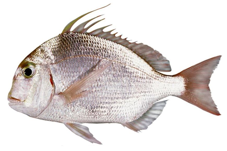Picture of King Soldier Bream