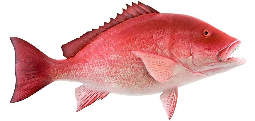 Picture of წითელი ქორჭილა (ლუციანი)