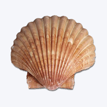 Picture for category Molluscs