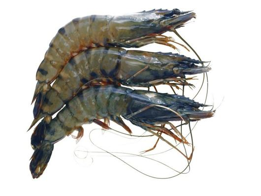 Picture of Tiger Prawn