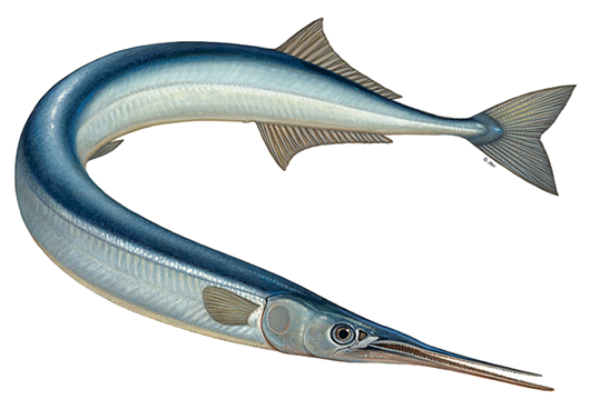 Picture of Black Sea Garfish