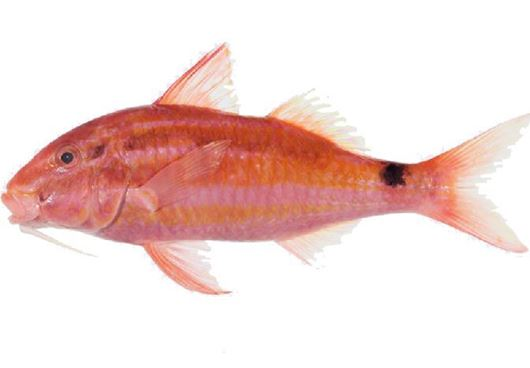 Picture of Indian Goatfish/Red Mullet