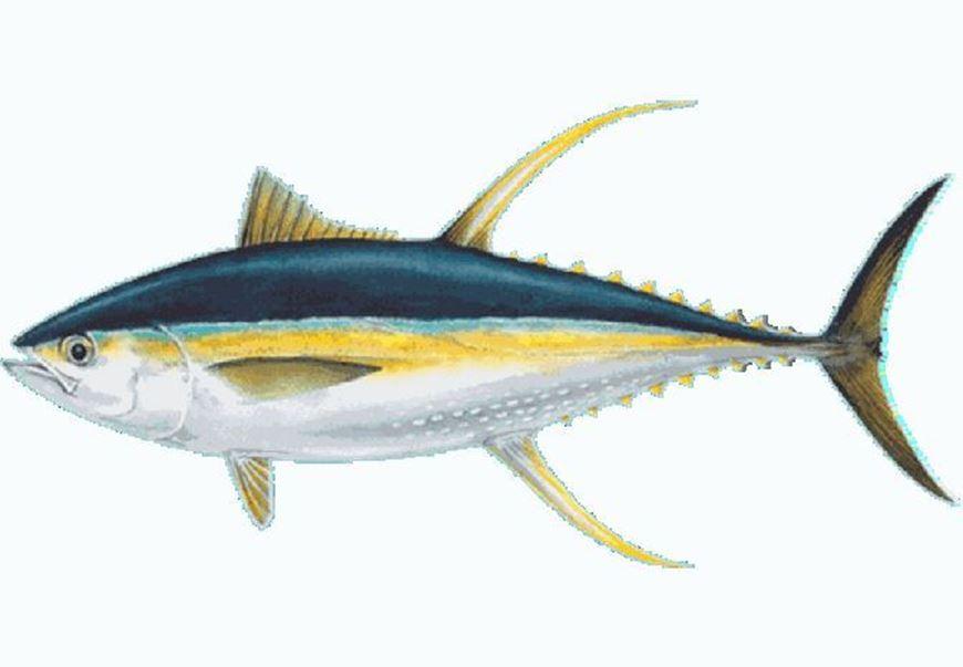 Picture of Yellowfin Tuna Loin