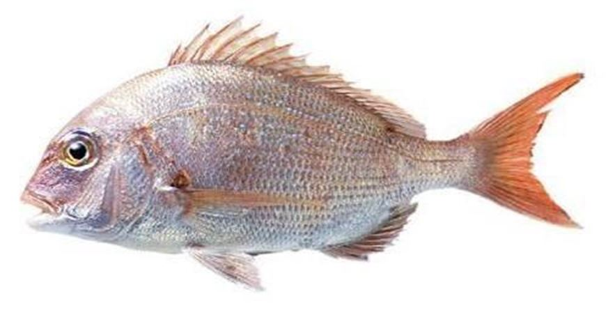 Picture of Red Sea Bream