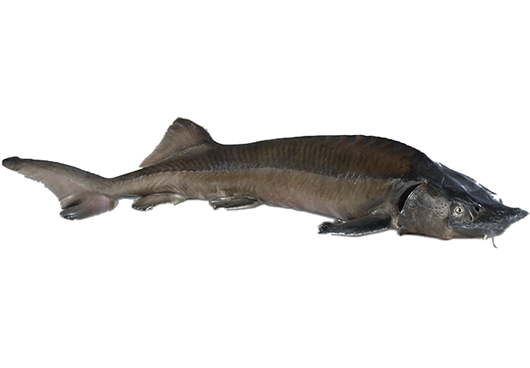 Picture of Siberian Sturgeon (whole)