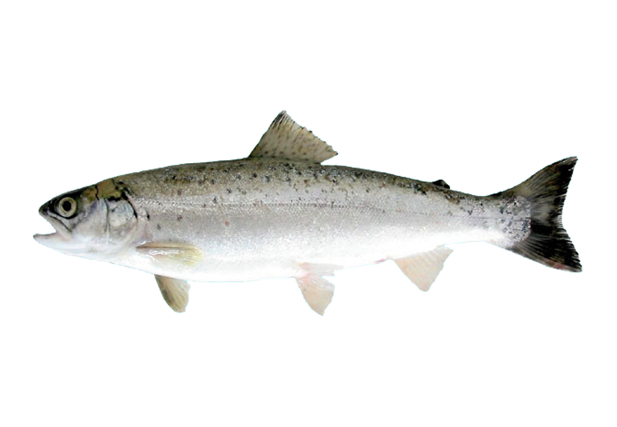 Picture of Black Sea Salmon